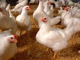 توافق برای تحویل ۲۰میلیون قطعه جوجه به اتحادیه سراسری مرغداران