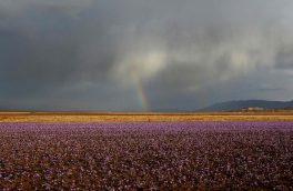 ایران بزرگترین تولید کننده زعفران جهان است
