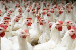 آنفلوآنزای فوق حاد پرندگان در سطح کشور کنترل شده و جای نگرانی وجود ندارد