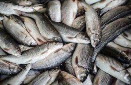 معدوم سازی ۲۱۰ کیلوگرم ماهی فاقد هویت در اردستان