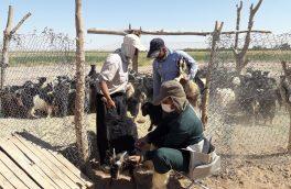 ۵۰ هزار رأس دام سبک در اردستان بر علیه تب برفکی واکسینه شدند