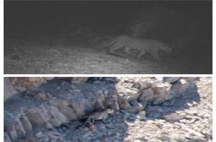 مشاهده دو قلاده پلنگ ایرانی در اندیکا+عکس