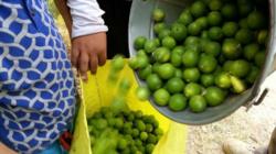 ۲۴تن مرکبات از باغهای شهرستان دره شهر برداشت میشود
