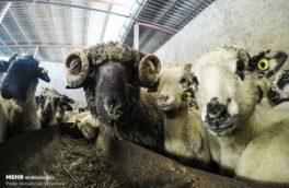 مصرف گوشت یک میلیون تن؛ قاچاق ۱۰ هزار تن