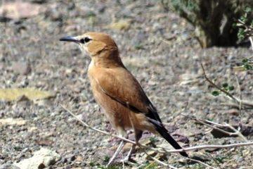 مشاهده تنها پرنده انحصاری بومی ایران در تالاب گاوخونی+تصویر