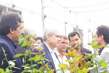 تولید ۲۱ میلیون رز شاخه بریده از ۱۸ هکتار گلخانههای کهگیلویه و بویراحمد