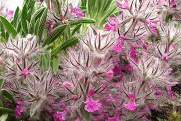گیاه چای کوهی در درمان و پیشگیری از سرطان تخمدان موثر است