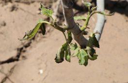 ۱۰۱ هزار تن محصولات باغی در استان اصفهان در اثر عوامل قهری خسارت دید