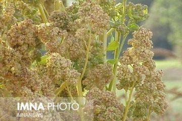 کشت گیاه کینوا برای نخستین بار در دهاقان