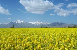 قابلیت برداشت ۱۴ هزار هکتار کلزا در اراضی کشاورزی گنبدکاووس