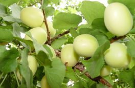 آغاز برداشت محصول زردآلو از ۲ هزار و ۷۰۸ هکتار باغهای یزد