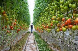 بیشترین محصولات گلخانهای استان در فلاورجان تولید میشود