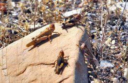 مبارزه با ملخ های صحرایی در ۵۷۰ هزار هکتار از اراضی کشور انجام شد