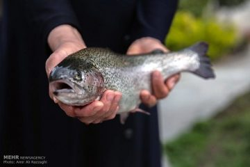 تولید سالانه ۱۲۰۰ تن ماهی قزل آلا در شهرستان فریدونشهر
