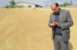 رکورد تولید گندم در ابرکوه به ۴.۵ تن در هکتار رسید