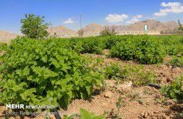 کاهش سطح زیر کشت گیاهان دارویی در آران به دنبال کاهش دبی چاهها