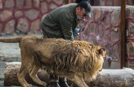 بازدید مونسان از قفس شیرها با حادثه همراه بود