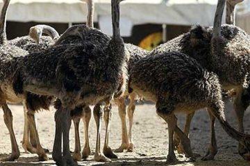 صادرات ۱۲۵۰ قطعه جوجه شترمرغ از گیلان به کشورهای همسایه