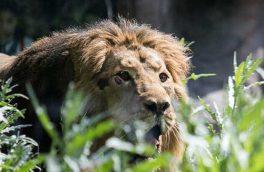 حمله شیر به متصدی باغ وحش در زمان بازدید معاون رئیس جمهوری