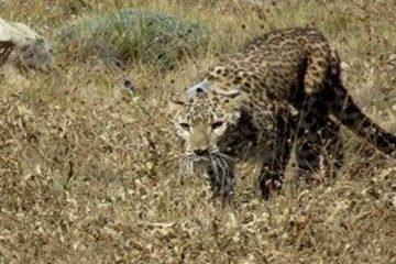 حمله یوزپلنگ به یک بشاگردی
