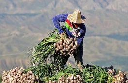 برداشت سیر از مزارع شهرستان همدان