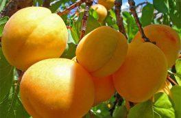 برداشت زردآلو از باغهای میوه استان همدان