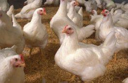 مرغ زنده در چابهار کمیاب شد
