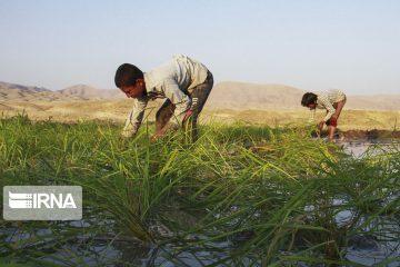 خوزستان برنج ۱۳ میلیون ایرانی را تولید می کند