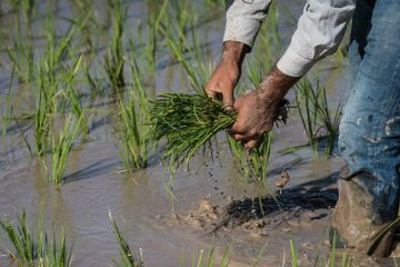«کشاورزی» با سهم ۲۱ درصدی ضعیفترین بخش ایجاد اشتغال در کهگیلویه و بویراحمد