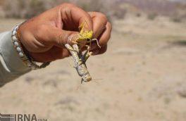 مبارزه با آفت ملخ در مزارع نیشکر خوزستان وارد مرحله جدیدی شد