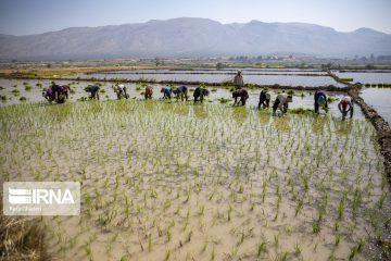 رشد ۴۰ درصدی کشت برنج، زنگ خطری برای منابع آبی فارس