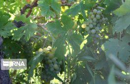 ایران ، نمایشگاهی از تنوع انگور است