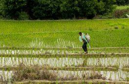 آغاز برداشت برنج از شالیزارهای استان قزوین