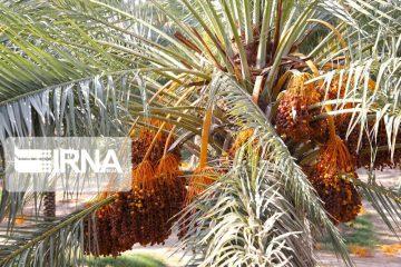 تلخی خشکسالی به کام نخلداران سیستان و بلوچستان