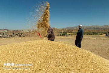 تاخیر در اعلام نرخ تضمینی خرید گندم به تولید ضربه میزند