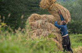 پایان برداشت برنج در گیلان