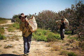 پسته ۱۷ هزار میلیارد ریال برای استان سمنان درآمد دارد