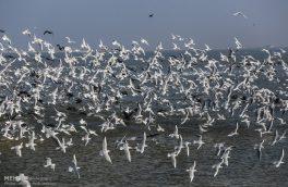 مهاجرت پرندگان به تالاب شادگان آغاز شد
