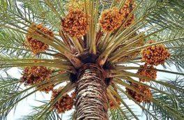 ضرورت توسعه صنایع تبدیلی برای بهره برداری از ظرفیت خرمای خوزستان