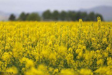 وابستگی به واردات دانههای روغنی، ننگ بخش کشاورزی است