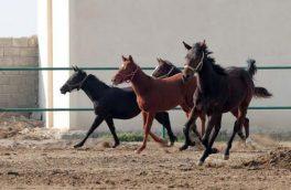 بیماری مشمشه، تهدید جدی برای پرورش دهندگان اسب است