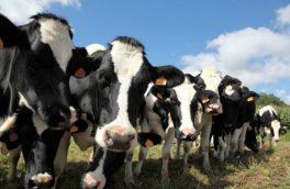 ۴.۷ میلیون راس گاو و گوساله در بهمنماه ثبت شد