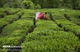 ۷۳ هزار تن برگ سبز چای از چایکاران خریداری شد