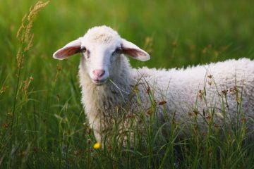 گوسفند قربانی کیلویی چند؟